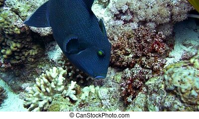 Big fish, blue Redtooth triggerfish in Red Sea - Big fish,...