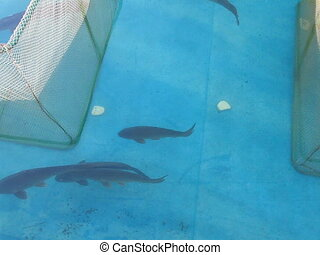 big fish in blue water, moving