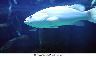 big fish swimming in aquarium - big fish swimming in big...