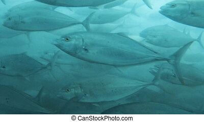 Big fish underwater shot - A medium shot of groups of big...