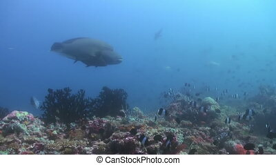Big Fish wrasse in blue water in search of food.