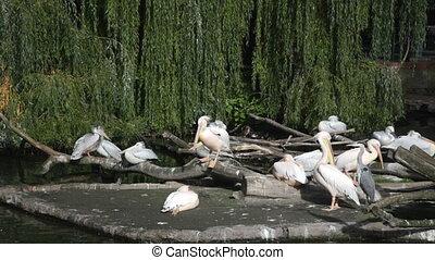 Big flight of pelicans