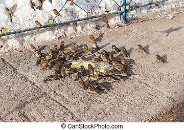 big flock of sparrows - flock of sparrows eating millet on...