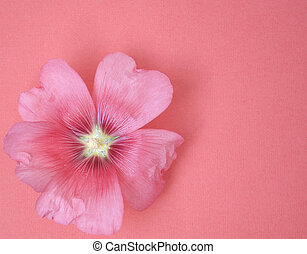 Big flower lavatera on a pink background