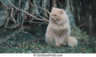 Big fluffy cat - Big cat that sits close-up in front of the...