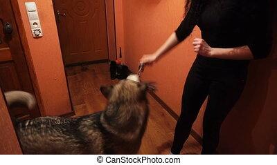 big fluffy playful dog malamute at home