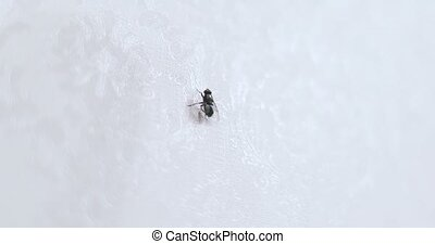 big fly horsefly crawling on white background. Closeup video...