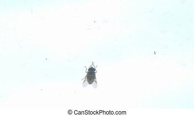 Big fly horsefly crawls on the glass. Tabanidae. Big fly...