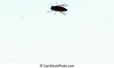 Big fly horsefly crawls on the glass. Tabanidae