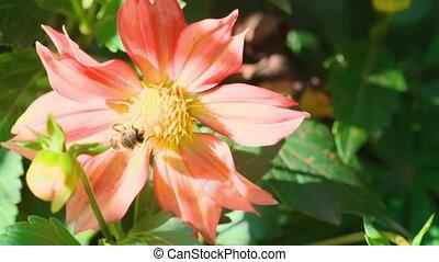 Big fly on dahlia flower, macro