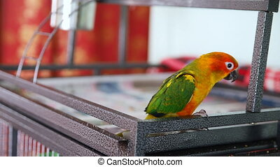 Big funny red sun conure parrot eating cookies
