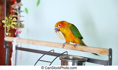 Big funny red sun conure parrot eating cookies - Big funny...