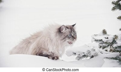 Big furry cat walking and mewing in the snowdrift near the...