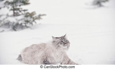 Big furry cat walking and playing in the snow near the...