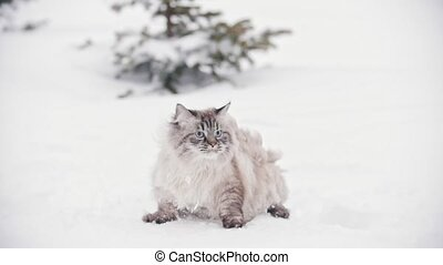 Big furry cat walking and sneaking in the snow near the...