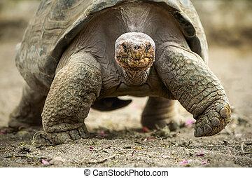 Big Galapagos Turtle - Galapagos Giant Tortoise Is The...