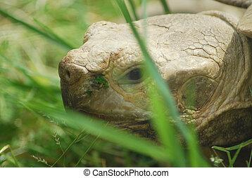Big Galapagos turtle head, Giant tortoise close up
