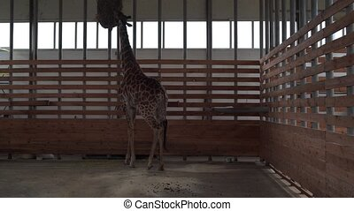 Big giraffe approaches feeder in large warm enclosure. Giraffe eating hay in preserve park