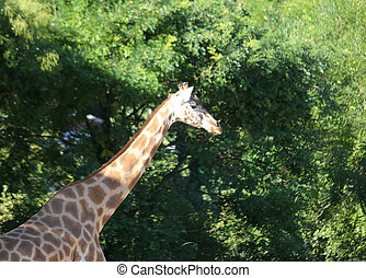 giraffe with long neck and green plants - big giraffe with...