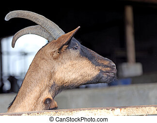 goat with long horns in animal farm