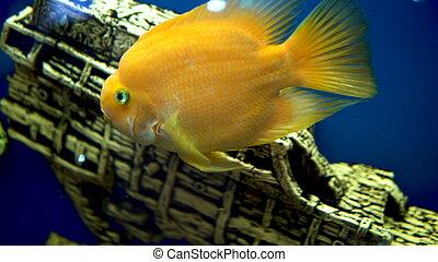 Big goldfish swims in aquarium
