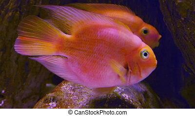 big goldfishe in aquarium
