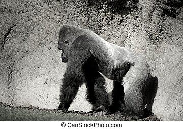Gorilla walking, in black and white