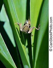 Big Grass Hopper