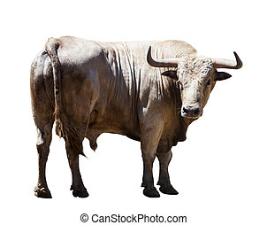 Big gray bull, isolated over white background