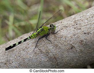 Big green dragonfly