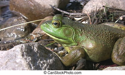 Big green frog by the water.