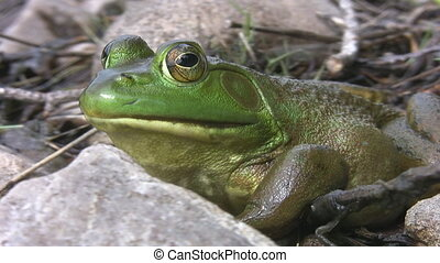 Big green frog. - Large green frog keeps an eye on the...