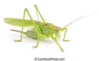 Big green grasshopper isolated
