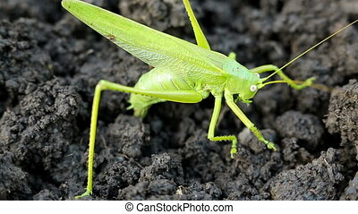 Big green grasshopper lays her eggs in the soil. Selective...