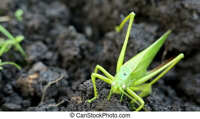 Big green grasshopper lays her eggs in the soil. Selective focus