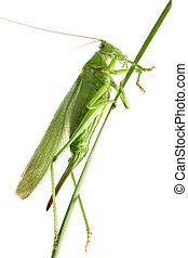 grasshopper on a stalk isolated - Big green grasshopper on a...