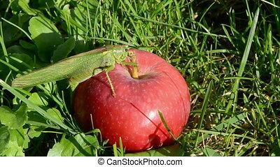 green grasshopper on red apple