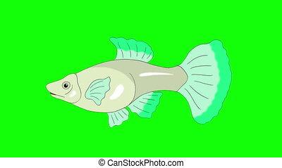 Big Green Guppy Aquarium Fish Chroma Key looped