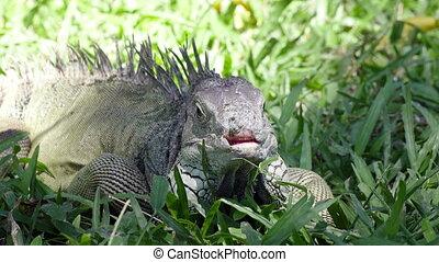 Big green iguana on a green grass.