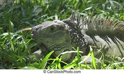 Big green iguana on a green grass