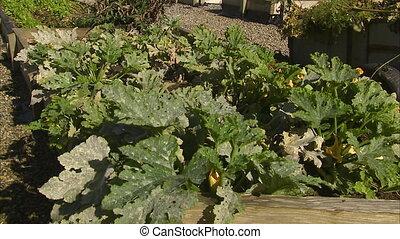 Big green leafy vegetables - A steady shot of big green...