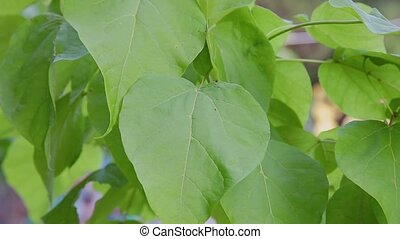 Big green leaves moving in the wind. - Big green leaves...