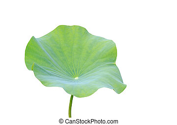 Big green lotus leaf isolated on white. Saved with clipping...