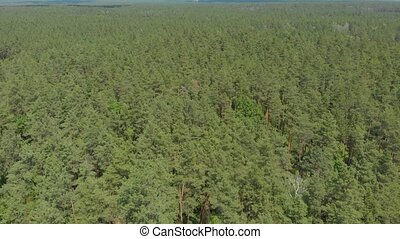 Big green pine forest summer forward push in aerial drone camera movement bird eye view