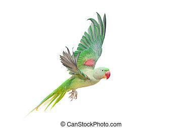 Big green ringed or Alexandrine parakeet on white - Big ...