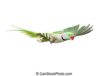 Big green ringed or Alexandrine parakeet on white - Big...