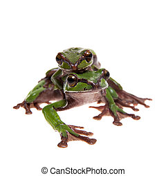 Big green whipping frog isolated on white - Big green ...