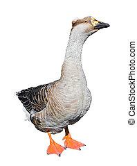 Big grey female goose isolated on white background. Funny goose full-length close up. Farm bird.