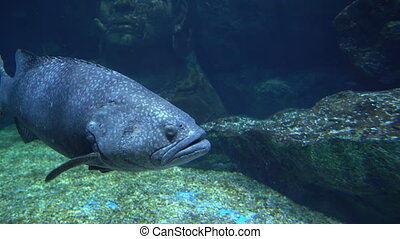 Big grey fish with round eyes and large mouth swims over the stony bottom underwater