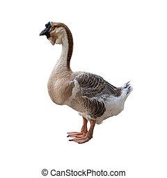 Big grey goose isolated on white background.